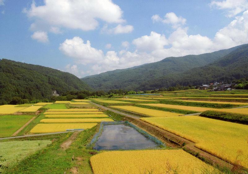 黄金色に染まる棚田からは、豊作の予感がします。【時期:9月中旬/場所:長谷非持】