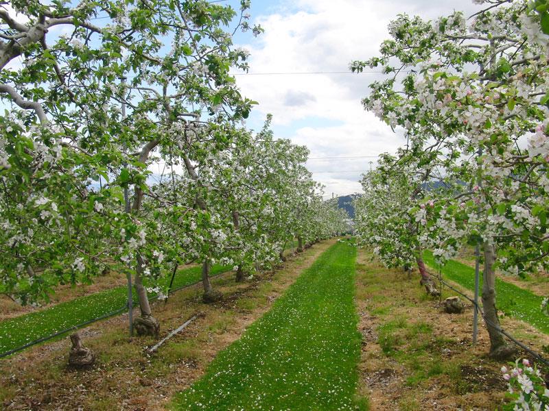 美しく咲くりんごの白い花は、秋においしいりんごが実ることを予感させてくれます。【時期:5月初旬/場所:西箕輪羽広】