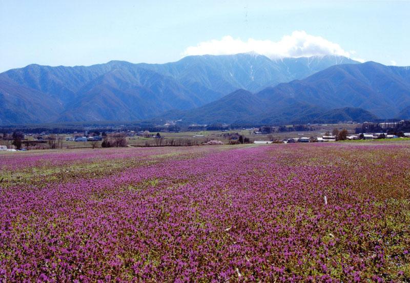 里は桜満開の頃、この場所は紫色に咲く小さな花で、まるでじゅうたんを敷き詰めた様に見事です。【時期:4月初旬/場所:西箕輪上戸】