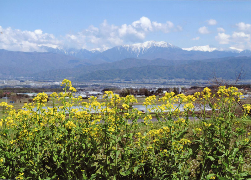 咲き並んだ菜の花の向こうには、残雪の南アルプスが美しく見えます。【時期:4月下旬/場所:西箕輪与地】
