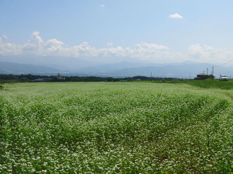 咲きそろったそばの花と伊那市のパノラマを一度に楽しめる場所です。【時期:9月中旬/場所:西箕輪羽広】
