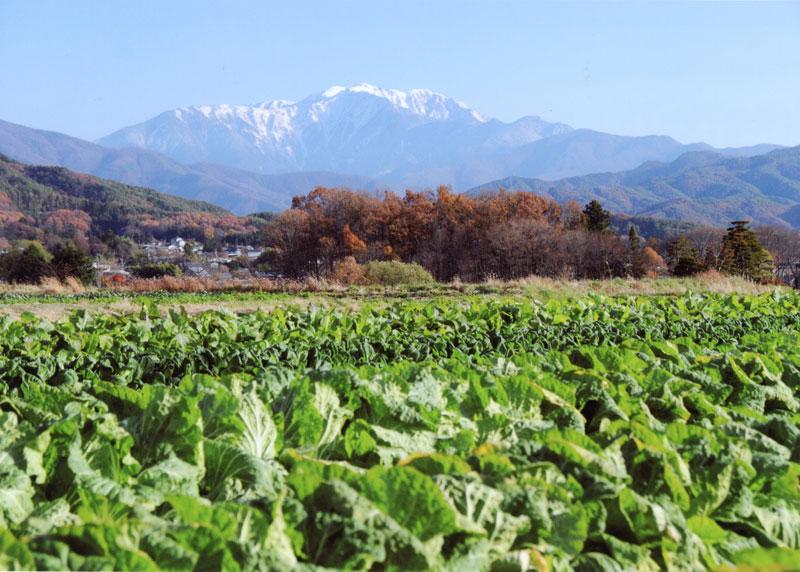 いよいよ収穫時期に近づいた白菜畑と南アルプスを見ることができます。【時期:11月中旬/場所:手良野口】